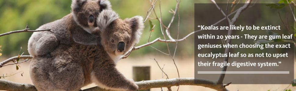 banner-koala