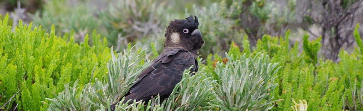 Petition: Tell Australia, save Carnaby's black cockatoo