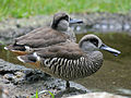120px-Pink-eared_Duck_RWD4