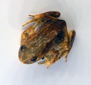 Baw_Baw_Frog-large