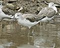 Common_Greenshank