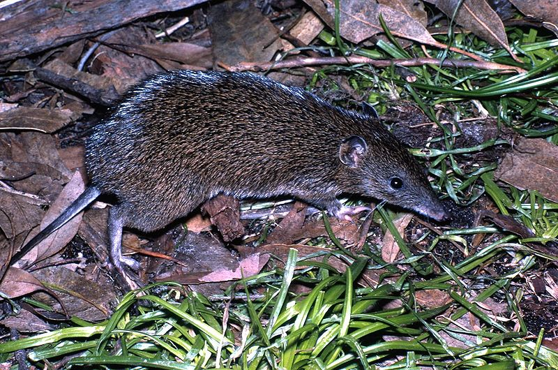 Southern_Brown_Bandicoot_Victoria