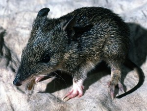 Southern_Brown_Bandicoot_juvenile