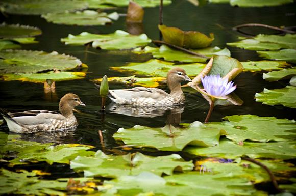 ducksonpond