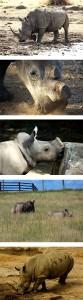 rhinocollage4