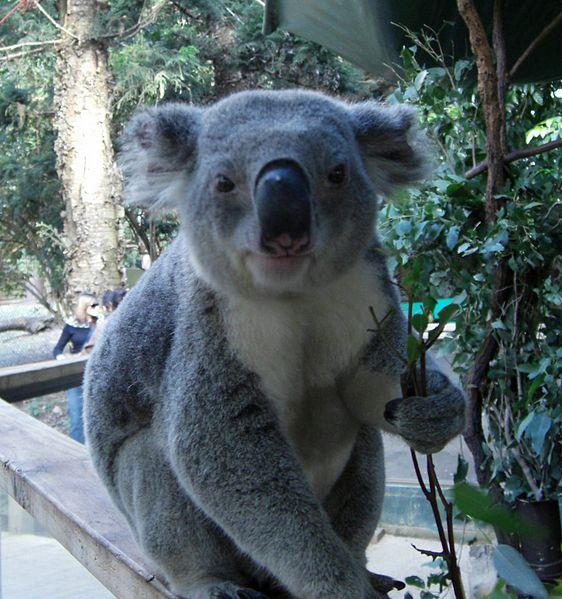 Koala_in_NSW