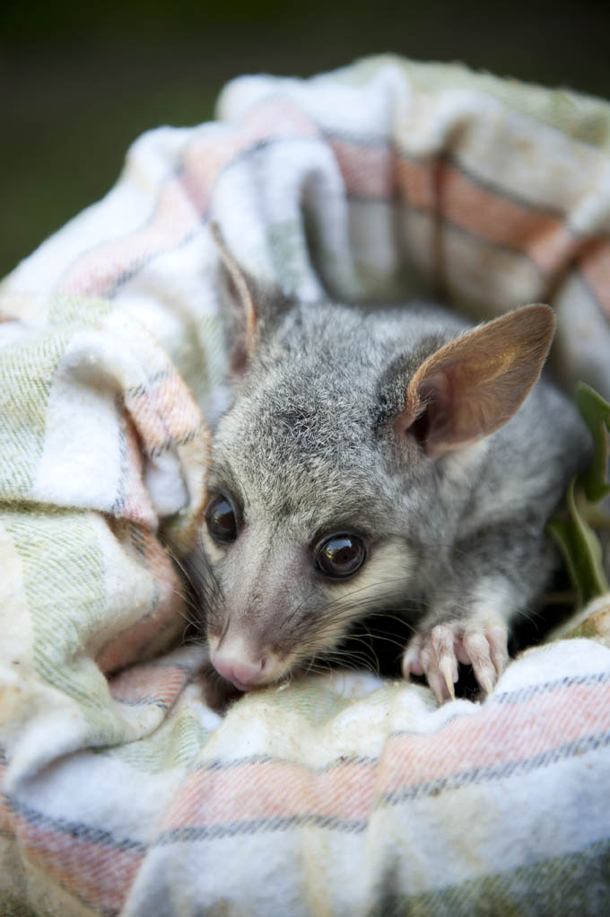 Orphaned_Possum_(8025629759)