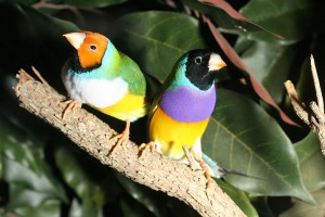 800px-GouldianFinches