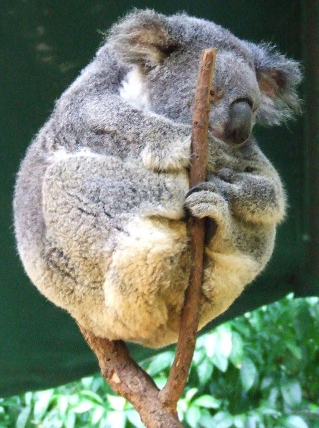 Koala_resting_in_tree_fork