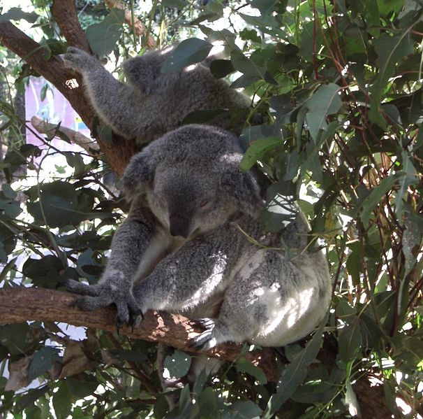 Phascolarctos_cinereus_NSW
