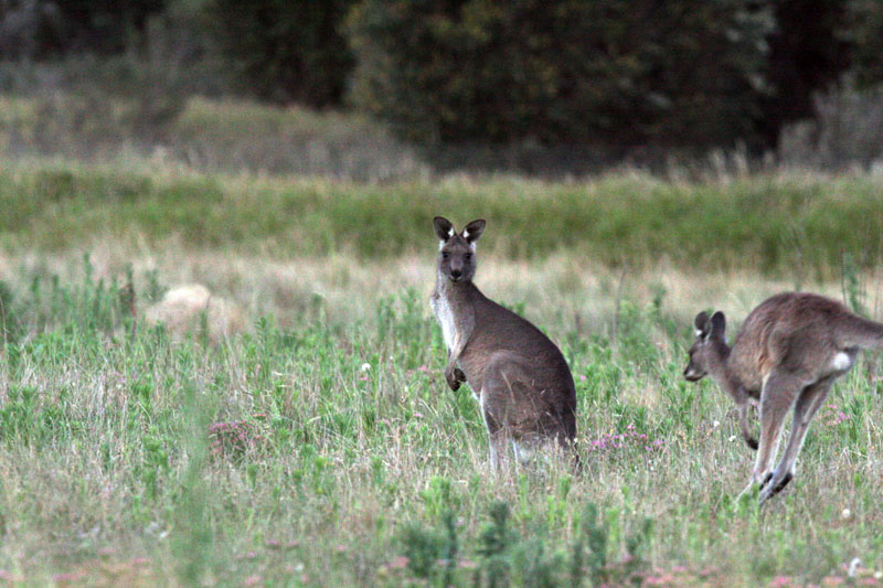 Canberra_Kangaroos_(6646578665)