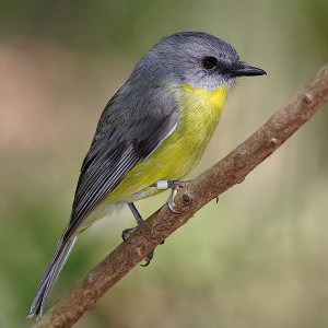 Eastern_yellow_robin