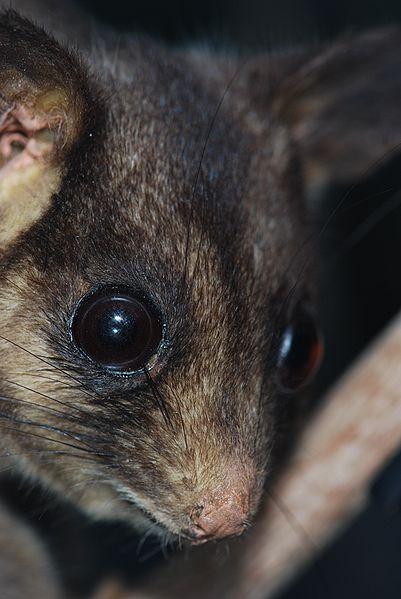 Leadbeater's_Possum_01_Pengo