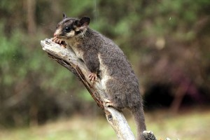 Leadbeater's_Possum_called_George_-_taxidermied_01