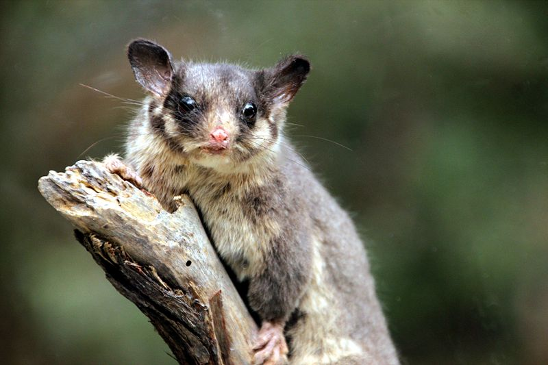 Leadbeater's_Possum_called_George_-_taxidermied_02