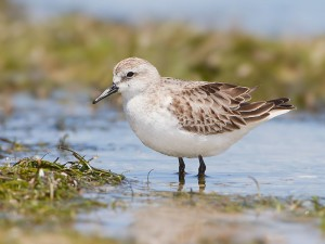 Red-neckedStint