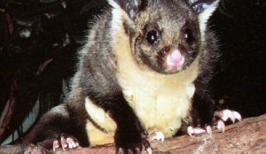 yellow-bellied-glider2