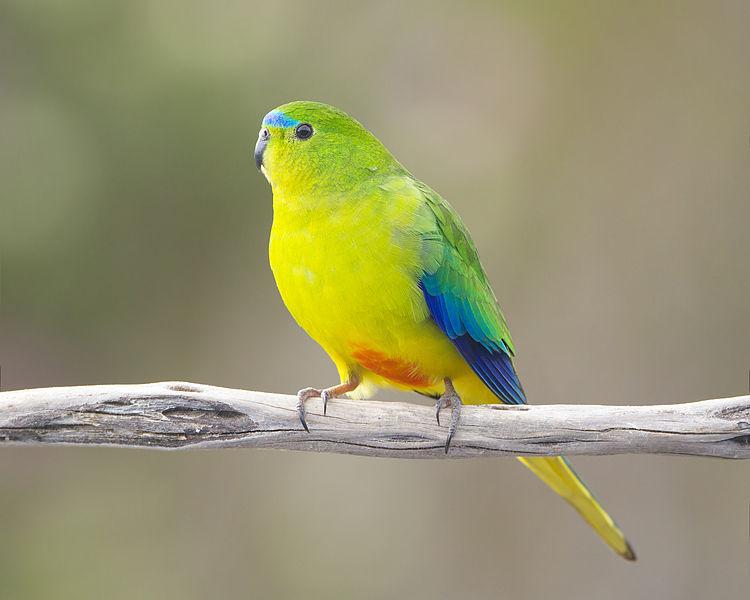 orange-bellied-parrot