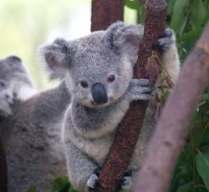 Cutest_Koala