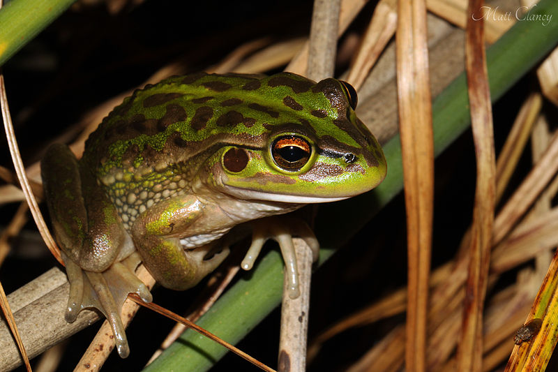 Growling_Grass_Frog_(Litoria_raniformis)_(8615947746)