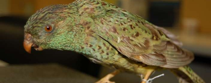 Night Parrot. Image courtesy South Australian Museum (2)