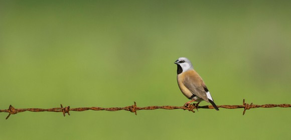 black-throated-finch