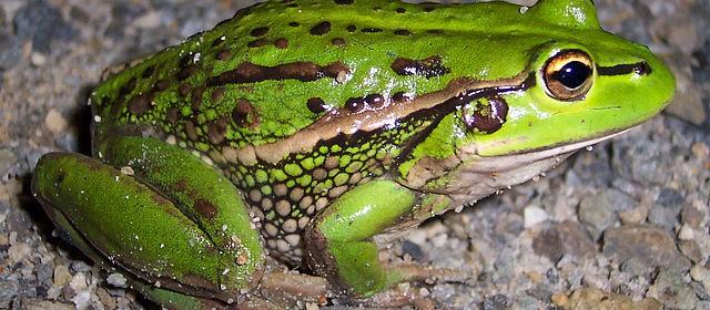 growlinggrassfrog1