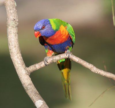 an analysis of rainbow lorikeets Rainbow lorikeets are prolific breeders, with pairs known to rear as many as three successive broods in a single season enabling the feral population to increase rapidly.