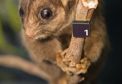 Leadbeater's_Possum_02_Pengo