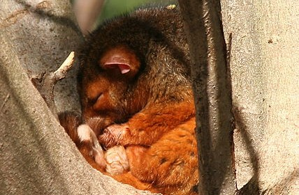 Common_Ringtail_Possum