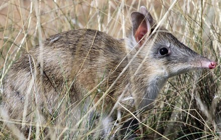 Eastern_Barred_Bandicoot_volunteer