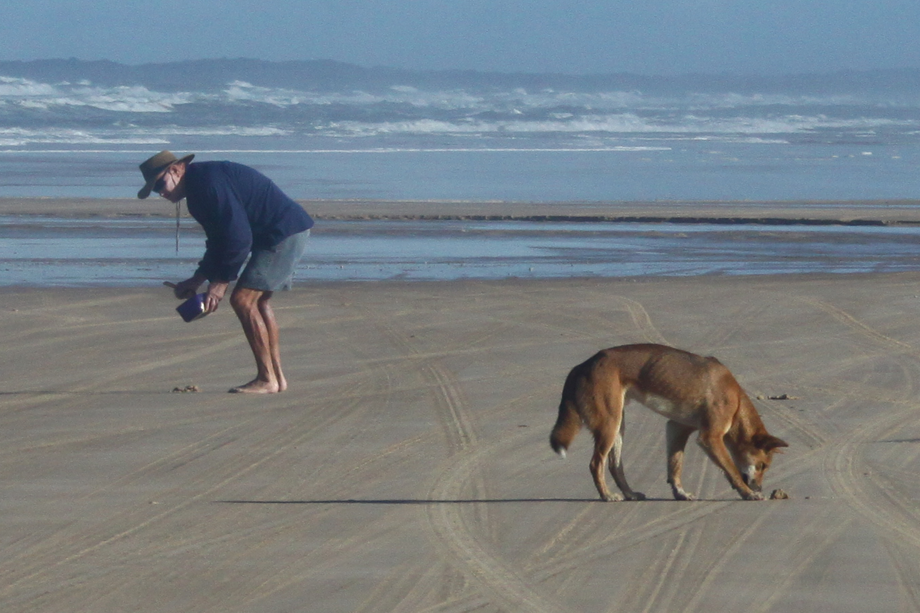 a skinny dingo looking for food from fisherman