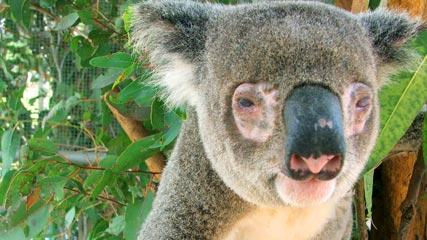 koala-chlamydia-face