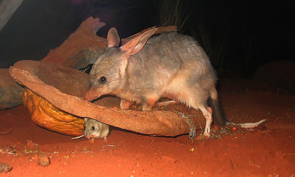 Bilby_at_Sydney_Wildlife_World