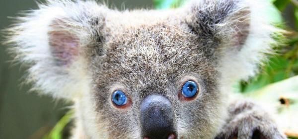 koala-blueyeyes