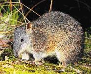 southern_brown_bandicoot