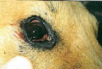 dingo-eye