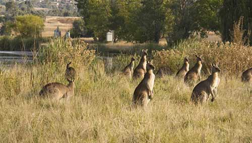 sm-kangaroos-belconnen1