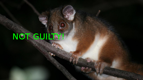 commonRingtail-possum.jpg