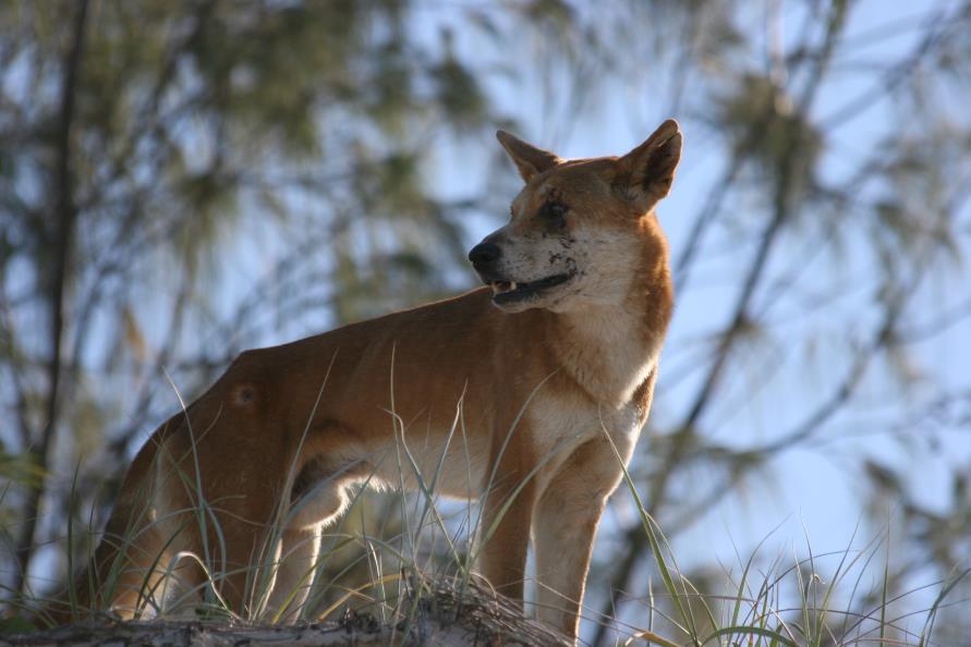 dingo-jennifer