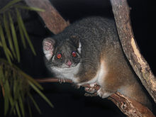 220px-possum_ring-tailed444