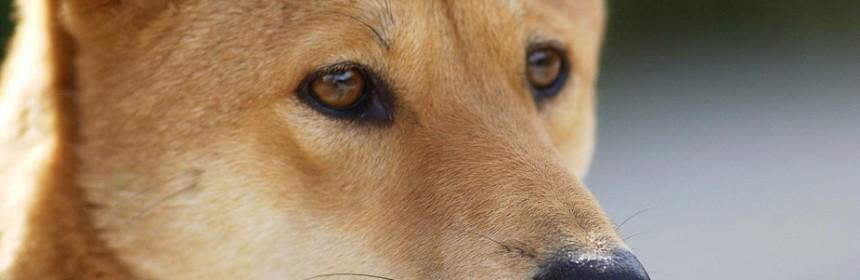 dingo-portrait