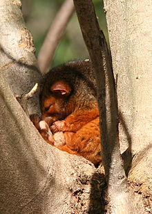 sleeepingcommon_ringtail_possum