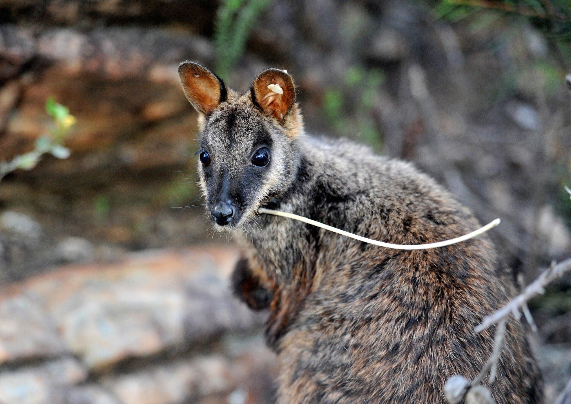 rock-wallaby