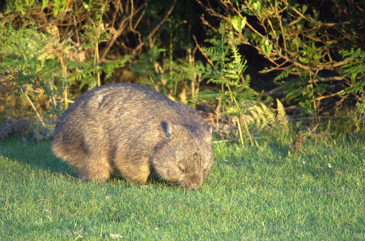 1280px-Wombat-Narawntapu
