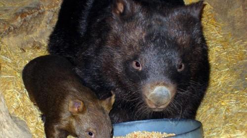 A235,_Ballarat_Wildlife_Park,_Ballarat,_Australia,_wombats,_2007