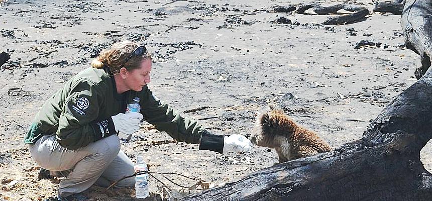 Kangaroo-Island-koalas-Humane-Society