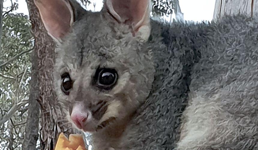 living-with-wildlife-possum-maria-taylor