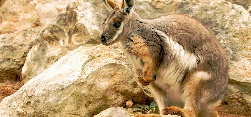 rock-wallaby-Whitepoimter-Dreamstime