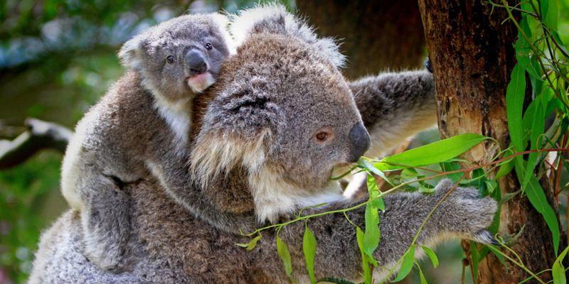 koala-petition-get-up